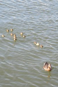 Mama & her Ducklings